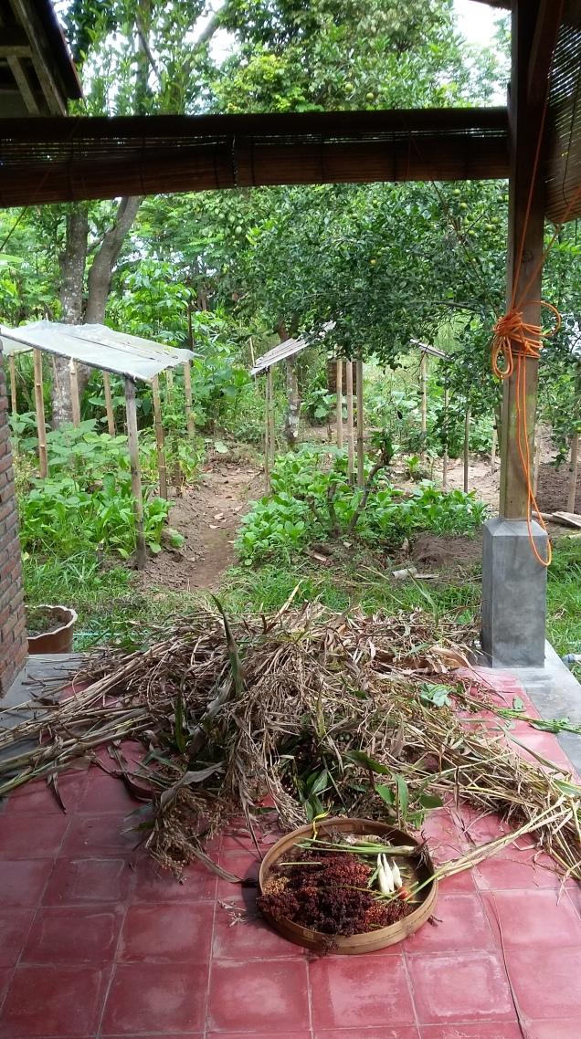 Récolte jardin Lokaloka 8 juillet 2017 Jali et Sorgum